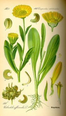800px-Illustration_Calendula_officinalis0