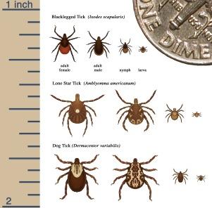 tick-identify-image-cdc.jpg